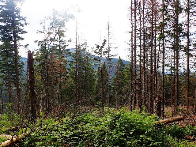 Zniszczone lasy na szlaku na Kasprowy