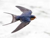 Uçan kırlangıç kuşunun üstten görünüşü