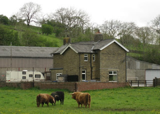 Three bulls locking horns, Yorkshire Dales, England