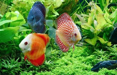 Mengatasi penyakit ikan discus