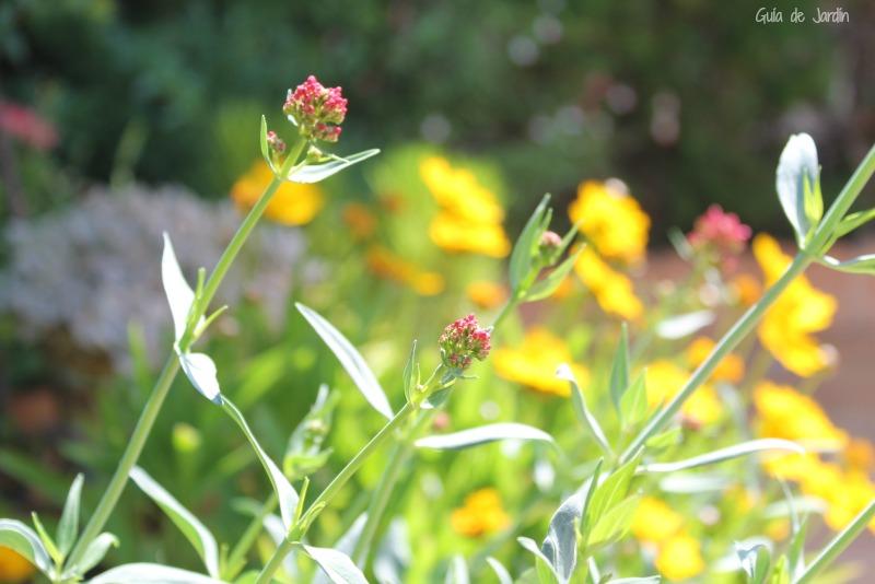 Valeriana roja y coreopsis (amarilla)