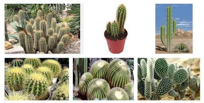 Cara Budidaya Bunga Kaktus di Iklim Tropis