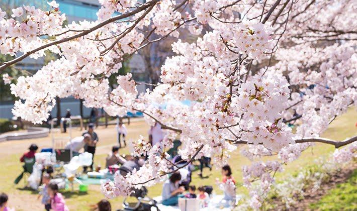 2018年の都筑区周辺の桜の名所・...