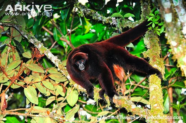 Peruvian yellow-tailed woolly monkey