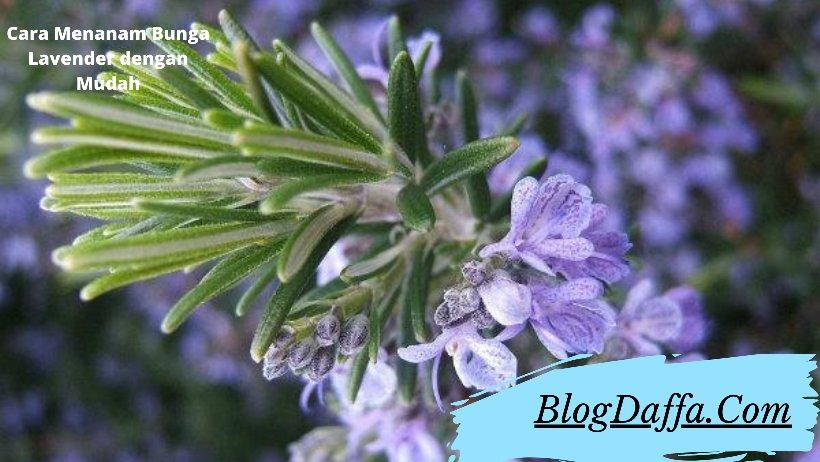 Cara menanam bunga lavender dengan mudah