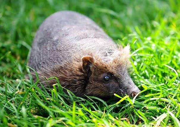 Bald Hedgehog