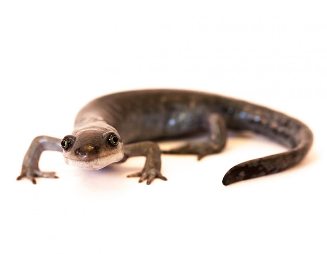 Promiscuous salamander found to use genes from three partners equally