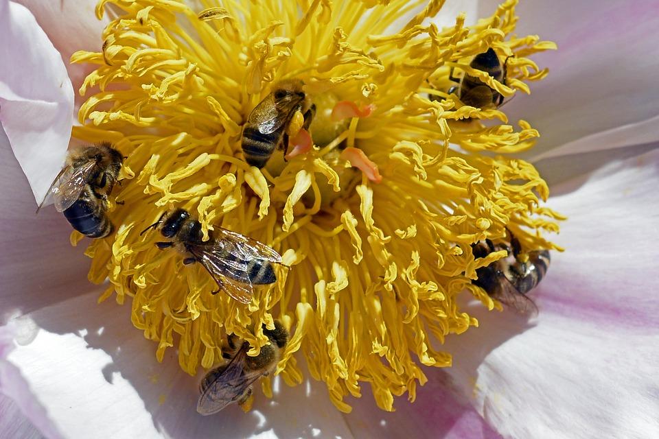 ABEJAS EN FLOR DE PEONIA - BEES IN FLOWER PEONIA
