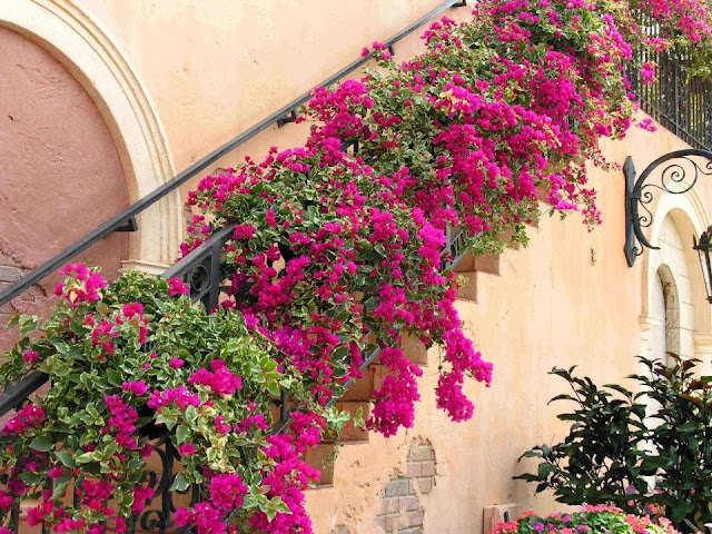 Variegated Bougainvillea in bloom