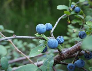 Fruits blaus al Parc Natural dels Aiguamolls de l'Empordà per Teresa Grau Ros