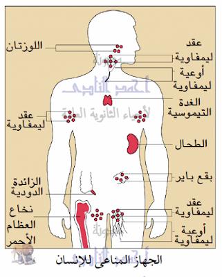 تركيب الجهاز المناعى فى الإنسان - الأعضاء الليمفاوية - الأعضاء الليمفاوية المحيطية