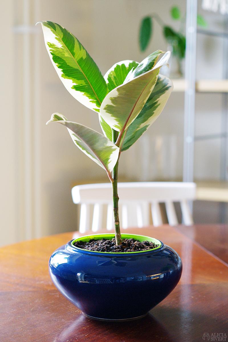http://aliciasivert.blogspot.com loppis loppisfynd emmaus malmö kruka krukor blå växter växt fönsterfikus fikus variegata variegerad vita rosa blad löv växtgäris
