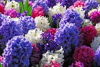 Giải mã giấc mơ thấy hoa dạ lan hương & ngủ nằm mơ thấy hoa dạ lan hương