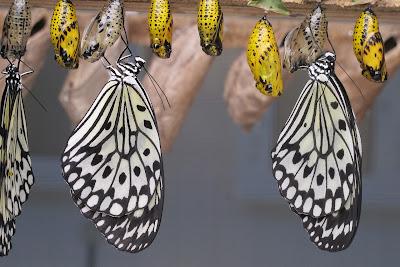 Cambio de crisálida a mariposa
