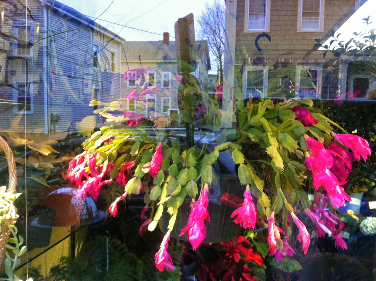 Christmas-Cactus-On-Wickenden-Street-in-Providence