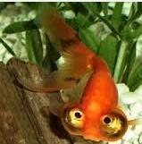 Inilah Jenis Ikan Koki Beserta Gambar Ikan Koki bubble eye