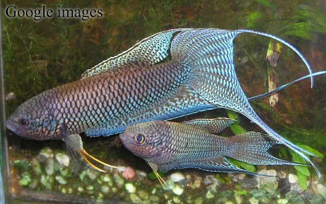 Macropodus Erythropterus - Red-backed Paradise Fish