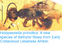 http://sciencythoughts.blogspot.co.uk/2016/04/holopsenella-primotica-new-species-of.html
