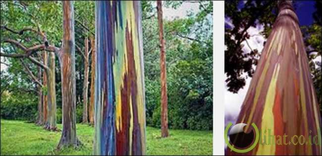 Eucalyptus Pelangi