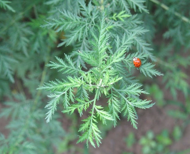 Thanh Cao - Artemisia apiacea - Nguyên liệu làm thuốc Chữa Cảm Sốt