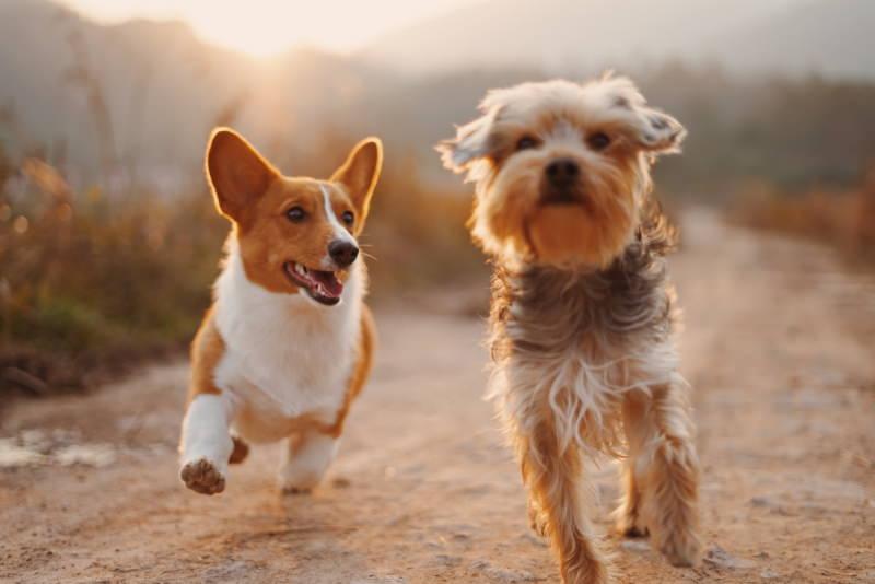 Dois cães, um Corgi e um Yorkie, brincam ao ar livre