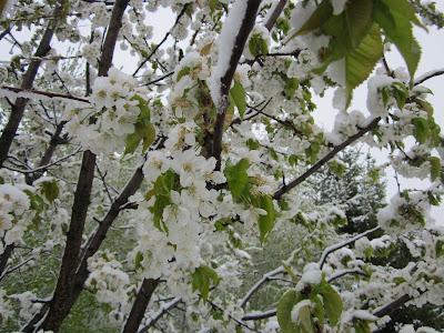 kwiaty czereśni w śniegu