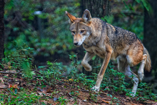 Call for USFWS to Develop Updated Red Wolf Recovery Plan