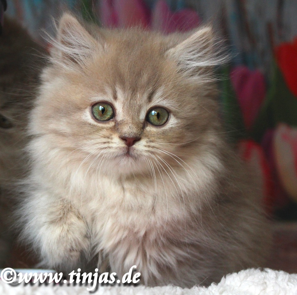 lilac golden tabby Britisch Langhaar Katzenbabys