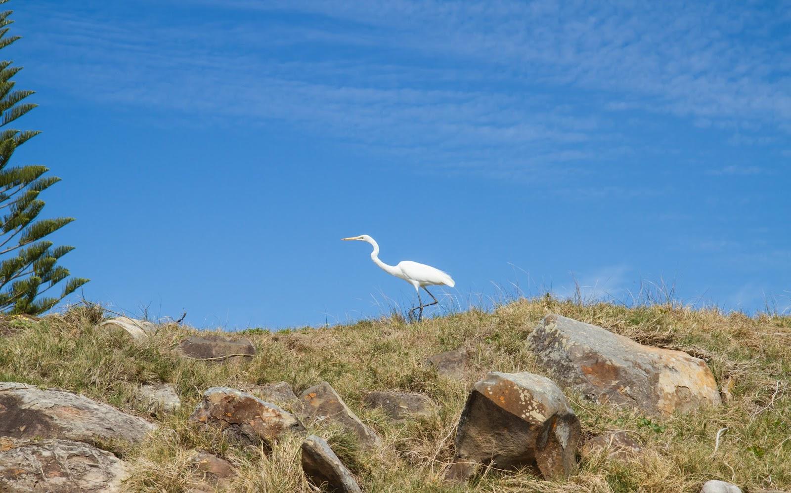 Australian Egret in Forster, Australia