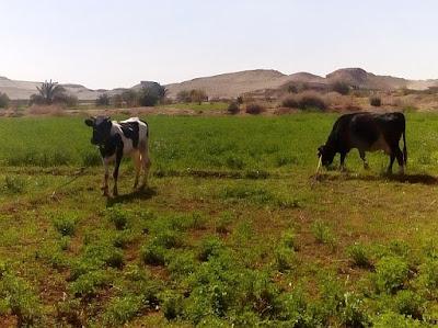 Kühe auf Weide in Ägypten