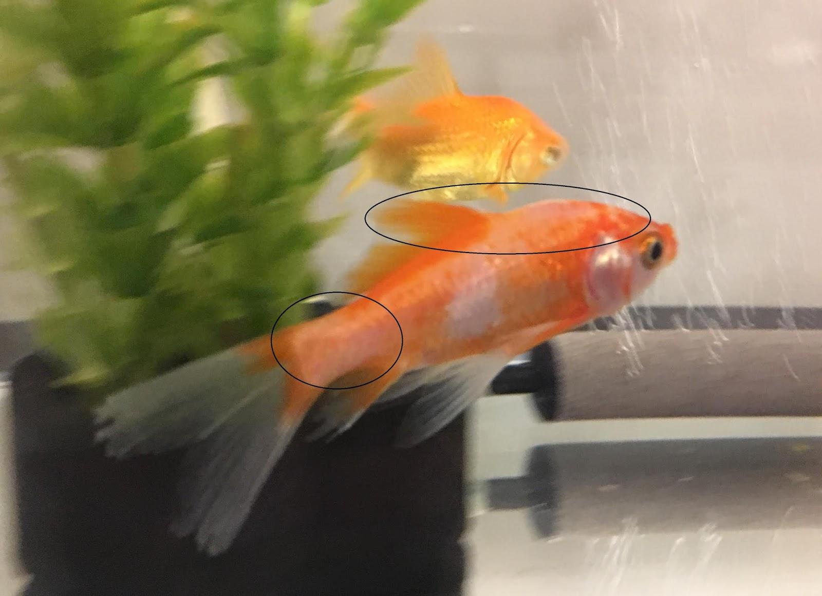 水槽 上げ 金魚 立ち