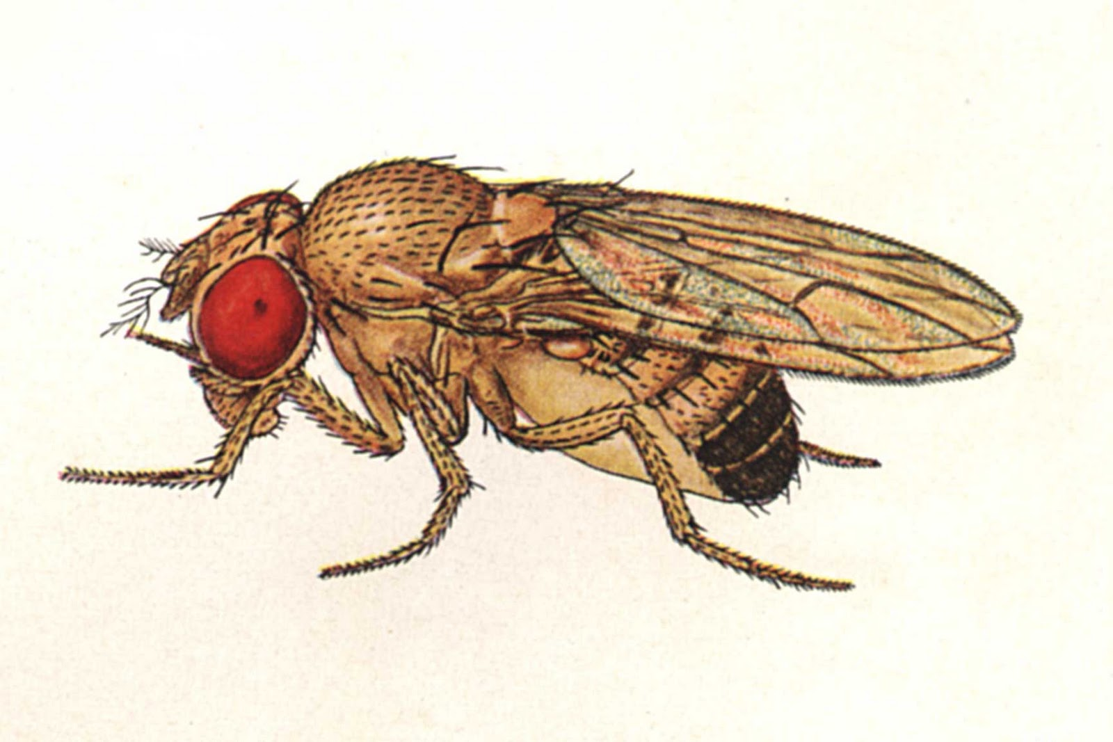 The Small Science Collective Fruit Flies