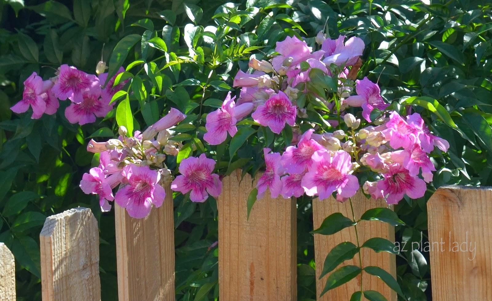 Pink Trumpet Vine Archives Ramblings From A Desert Garden