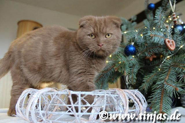Cinnamon Scottish Fold Katzenbaby aus der Tinjas Katzenzucht