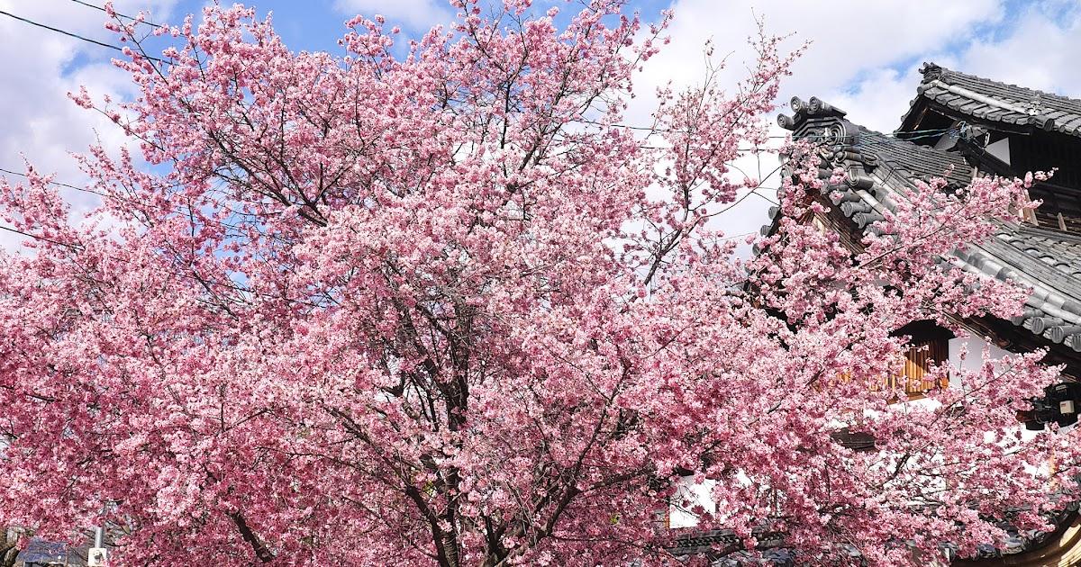 【日本】早春三月京都賞櫻花。長德寺オカメ桜。一條戻橋河津櫻。2016 | 駱駝商旅隊