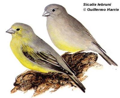 Patagonian Yellow Finch