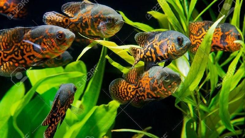 Makanan Ikan Oscar Agar Cepat Besar Ikan Hias Air Tawar Laut Dan Aquarium