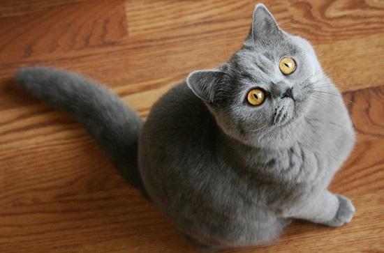 kucing termahal di dunia