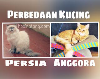 Perbedaan Kucing Anggora dan Persia beserta gambar