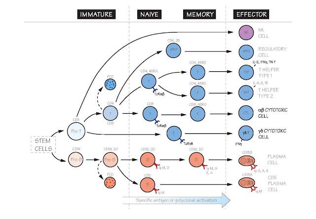Lymphocytes, Naïve cells, Memory cells, Polyclonal activation, Helper T cell, Regulatory T cell