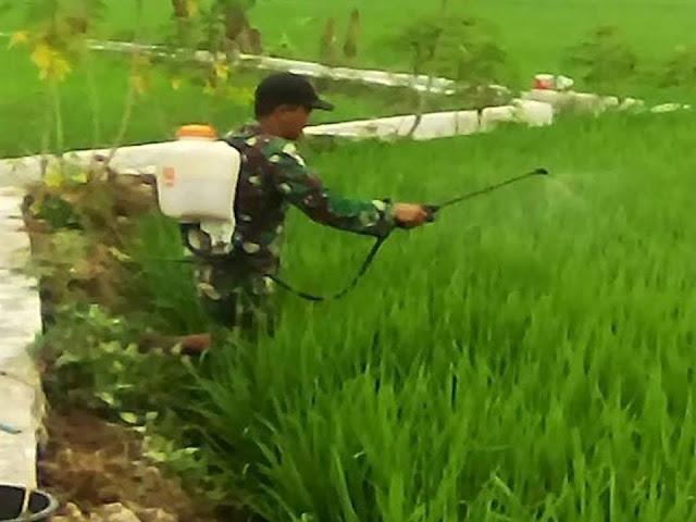 Rangka Pengendalian Hama, Babinsa Bantu Petani Lakukan Penyemprotan Hama Ulat