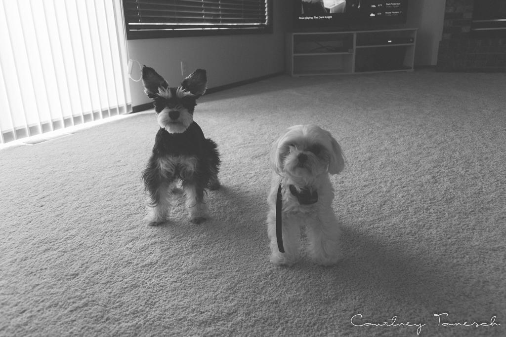 Courtney Tomesch Mini Schnauzer maltese Puppy Dog