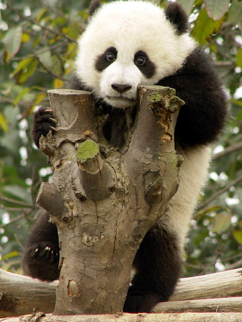 Cute Baby Panda Pictures - Funny Photos | Funny mages Gallery - photo#19