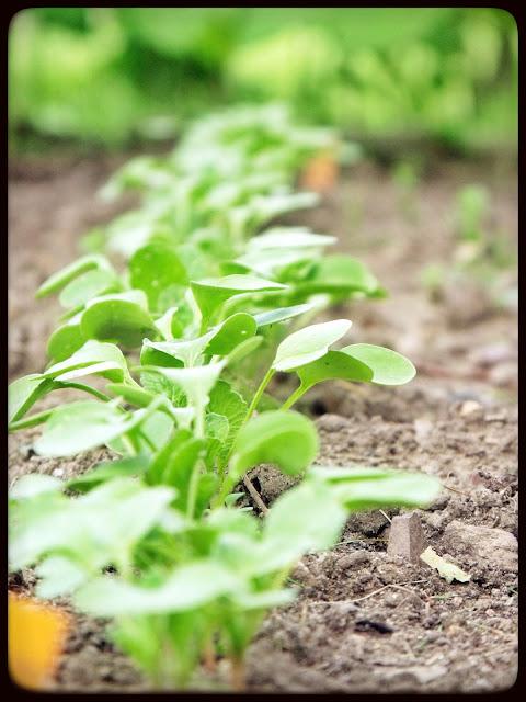 marguerite verte blog radis jardin fleurs fleur droits réservés