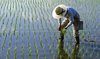 Arsénico en el arroz ¿un peligro para la salud?