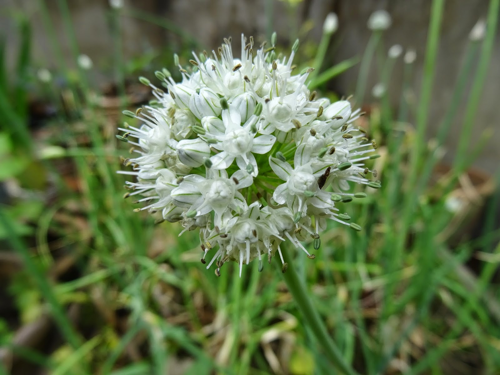 Blooming Onion Plant