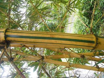 Bambu Kuning Dipercayai Bisa Mengusir Santet