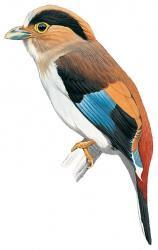 Serilophus lunatus