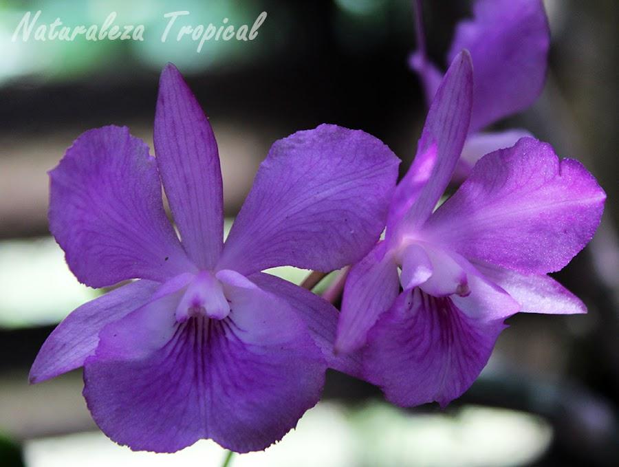Orquídea del género Broughtonia