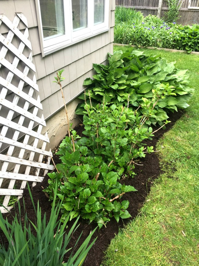 Hydrangea plant with mulch and edging